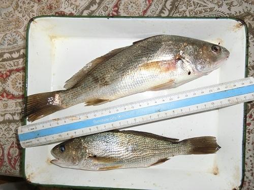Ishimochi-30cm